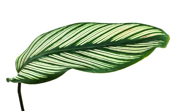 Folha tropical isolada em fundo branco