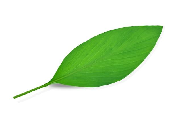 Folha única de açafrão isolada