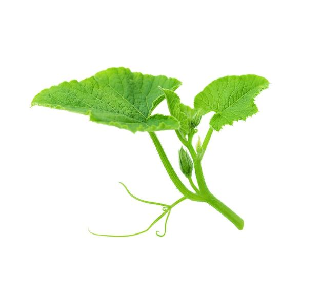 Folha verde abóbora isolada na superfície branca
