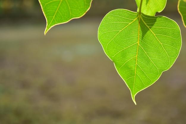 Folha verde bonita da bo no fundo da natureza com luz solar, conceito da meditação.