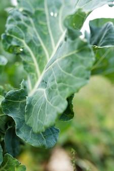 Folha verde bonita salada verde