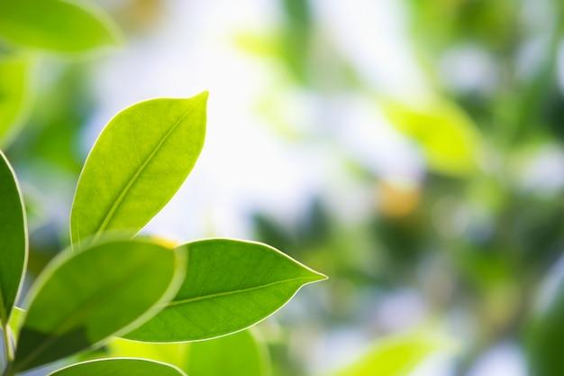 Folha verde closeup na natureza com sol