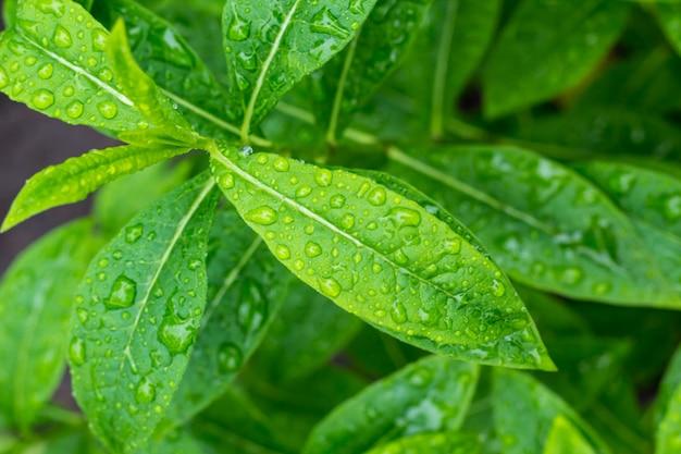 Folha verde com a água cai após a chuva para o fundo