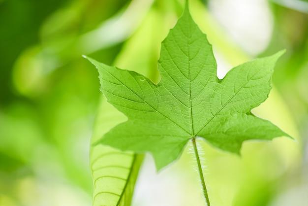 Folha verde da natureza na árvore bonita com foco macio da luz solar e borrão verde / feche acima das folhas no jardim do verão