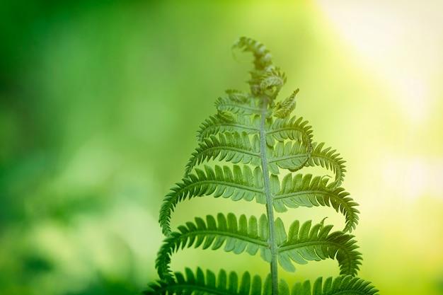 Folha verde da samambaia na floresta após a chuva, foco seletivo.