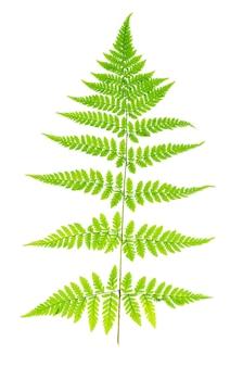 Folha verde da samambaia no fundo branco.
