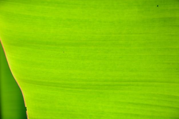 Folha verde de fundo de closeup de árvore de banana