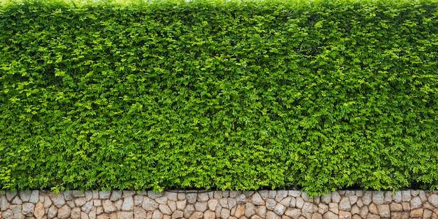 Folha verde de hedge para fundo de natureza ou pano de fundo