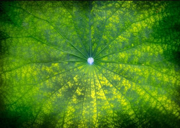Folha verde de lótus no lago escuro na natureza