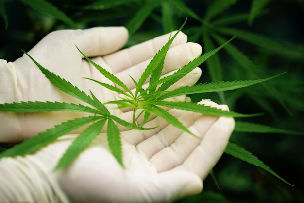 Folha verde de maconha em uma mão
