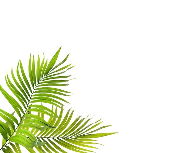 Folha verde de palmeira em fundo branco