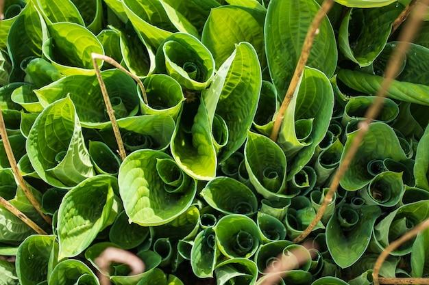 Folha verde de uma planta de jardim na fotografia macro de luz solar. a textura de uma folha suculenta em um dia ensolarado de verão, foto de close-up. verduras frescas com sombras profundas na primavera.