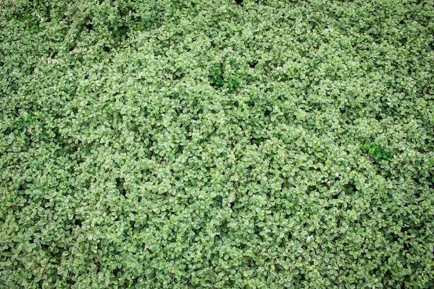Folha verde do fundo no natural.