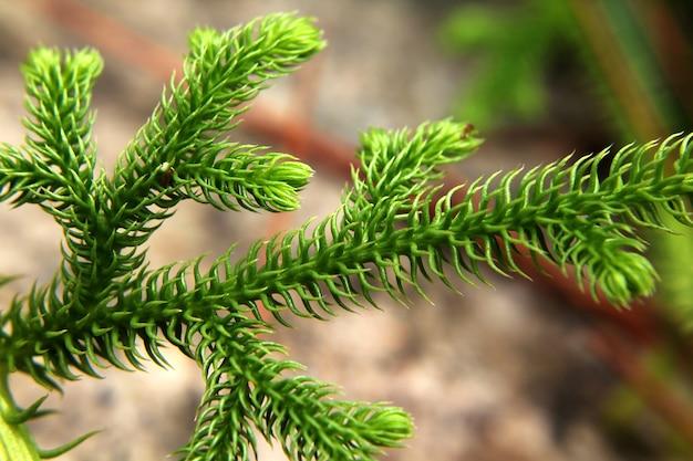 Folha verde dos pinheiros