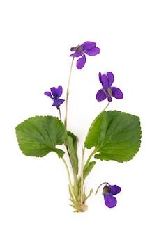Folha verde e flores de madeira violeta viola odorata isolado na parede branca. plantas medicinais e de jardim