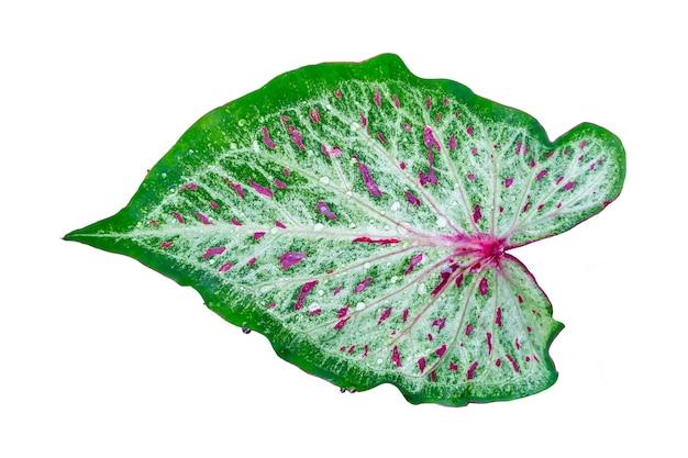 Folha verde e vermelha com gota de chuva isolada no branco