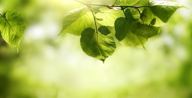 Folha verde em um galho em fundo verde borrado com raio de sol. cenário de folhagem natural de verão fresco