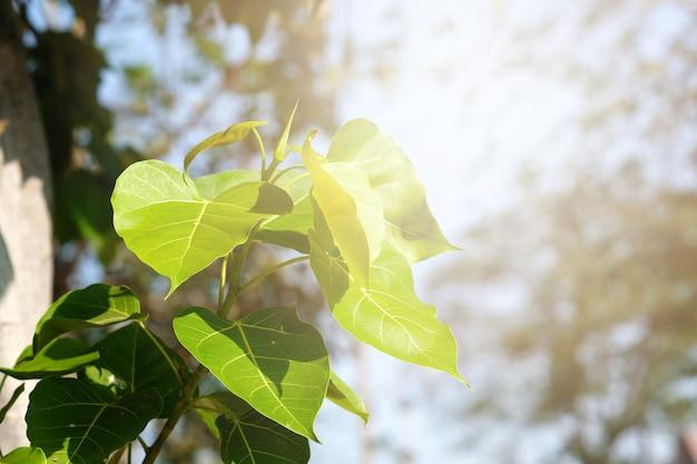 Folha verde folha de pho, (folha da bo, folha do bothi) com luz solar na natureza. árvore da bo que representa o budismo em tailândia.