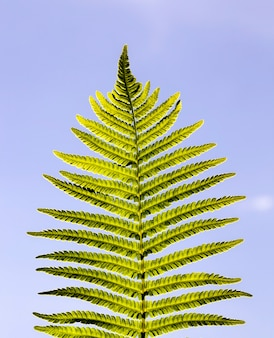 Folha verde fresca de uma samambaia