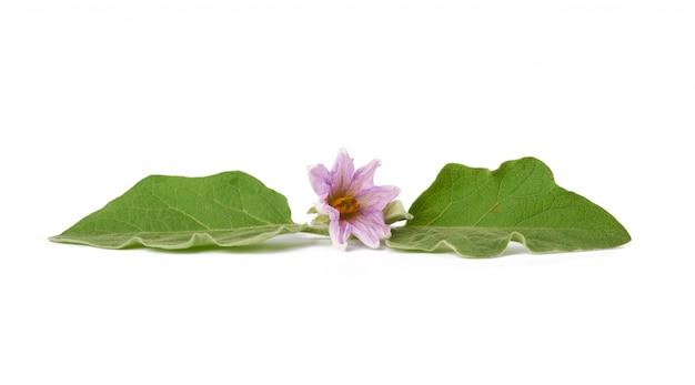 Folha verde fresca e berinjela roxa flor isolada