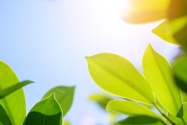 Folha verde fresca no fundo borrado das hortaliças. / natural folhas verdes bokeh de fundo.