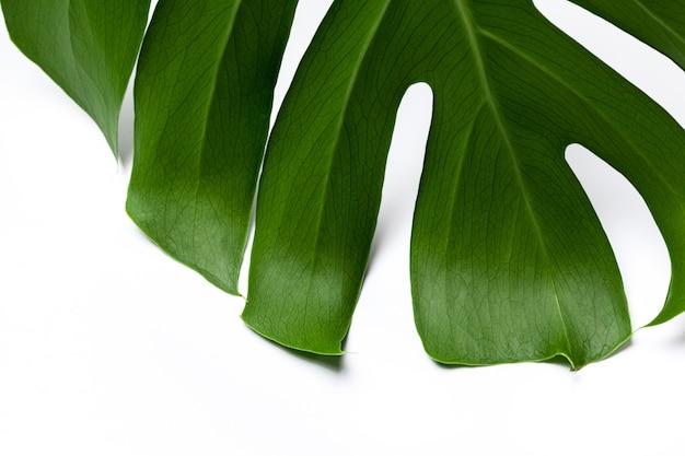Folha verde grande da planta monstera em branco