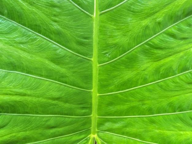 Folha verde grande