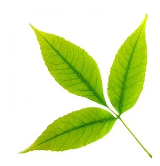 Folha verde isolada da árvore.