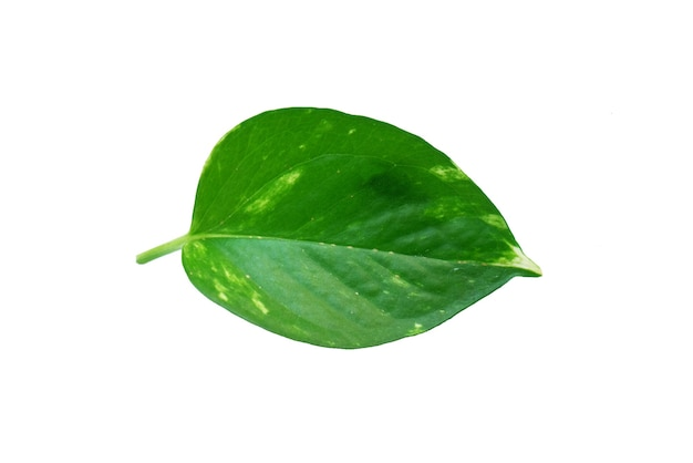Folha verde isolada em fundo branco