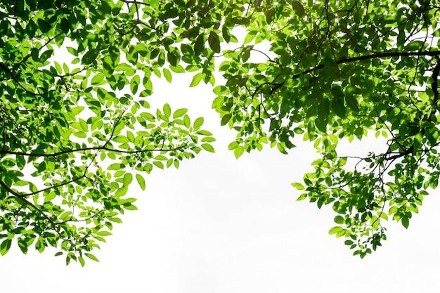 Folha verde, isolado no fundo branco