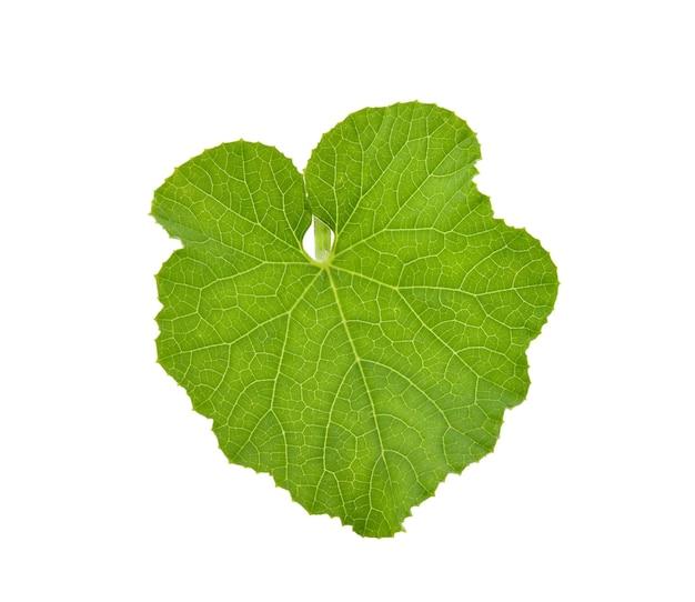 Folha verde melão isolada no fundo branco