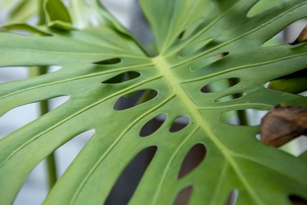 Folha verde monstroa close-up