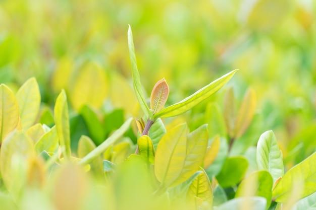 Folha verde nas hortaliças borradas no jardim, paisagem natural das plantas verdes.