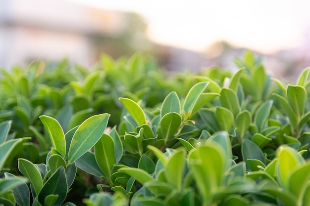 Folha verde no fundo de vegetação turva com espaço de cópia usando como pano de fundo