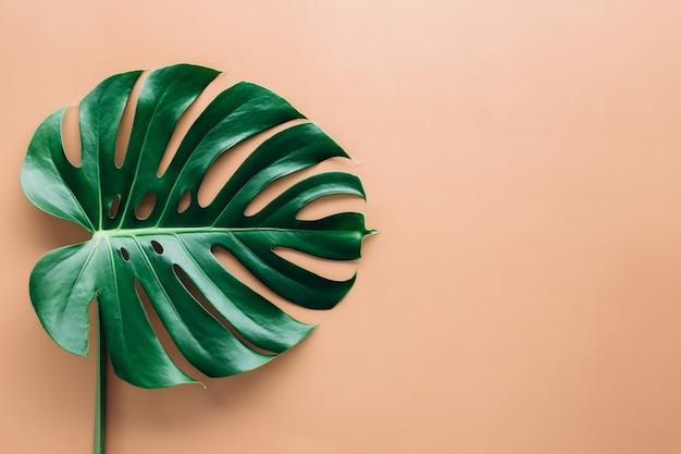 Folha verde-palmeira monstera em fundo bege. foto de alta qualidade