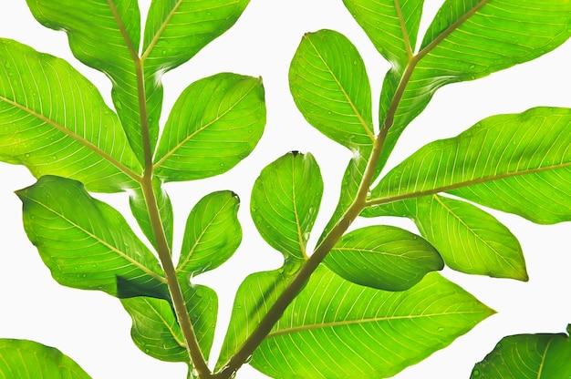 Folha verde tropical isolada em fundo branco