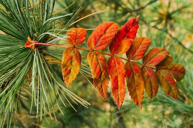 Folha vermelha do outono em um galho de uma árvore de larício. macro.