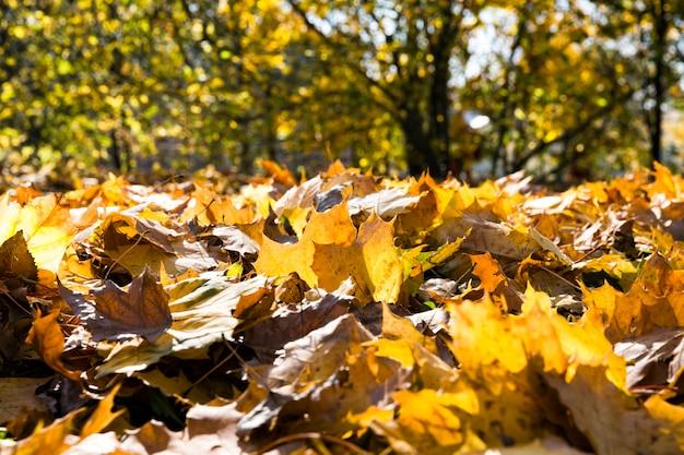 Folhagem amarela caída de árvores durante a folhagem de outono