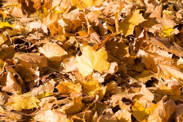 Folhagem amarela caída de árvores