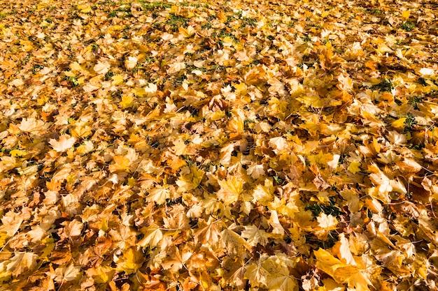 Folhagem amarela das árvores no outono