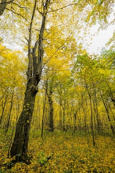 Folhagem amarela de outono na floresta