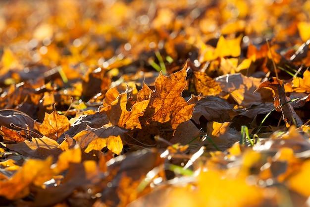 Folhagem amarela e laranja do bordo durante a queda das folhas, close-up na temporada de outono