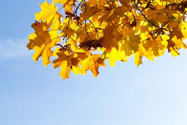 Folhagem amarelada de árvores, incluindo bordo, no outono do ano