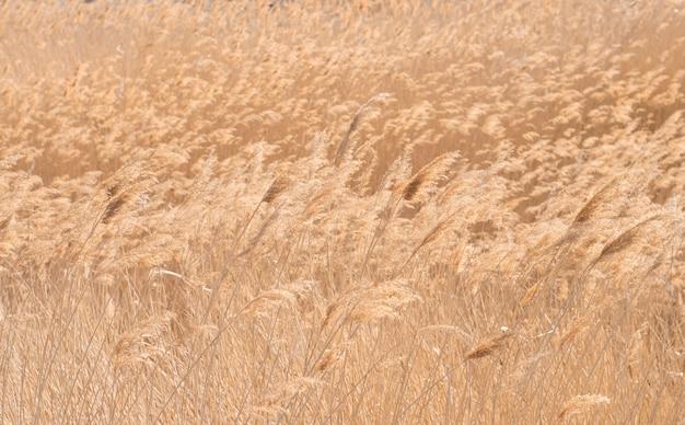 Folhagem amarelada de juncos arvoredos com um vento forte.