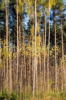 Folhagem de bétula dourada amarela brilhante contra um céu azul, natureza natural do outono