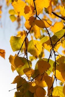 Folhagem de bétula dourada e amarela nos galhos na temporada de outono
