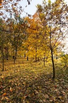 Folhagem de bordo em queda de folhas de outono, bordo com mudança de folha avermelhada de perto, bela natureza com árvore de bordo selvagem