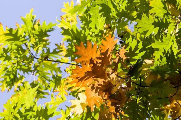 Folhagem de carvalho verde entre as quais aparecem as primeiras folhas de outono de cor laranja, close up de uma árvore real viva na temporada de outono