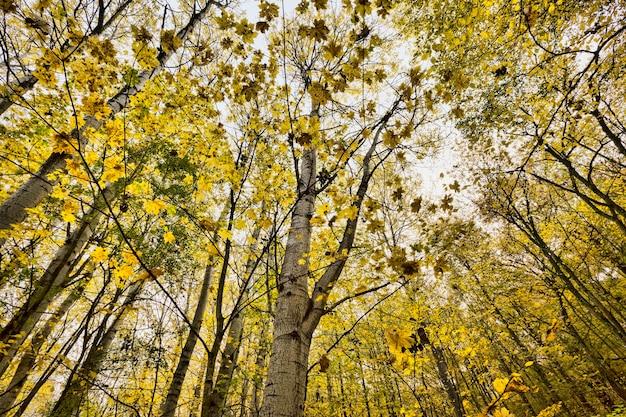 Folhagem de outono amarela