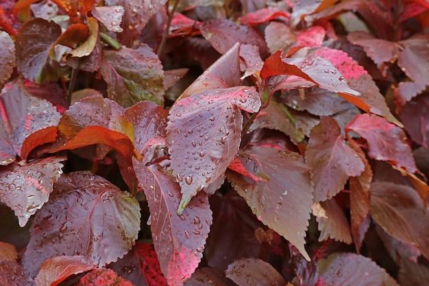 Folhagem de plantas de cobre vermelho de louisiana com gotas de água após a chuva